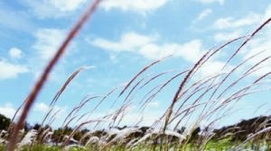 stock-footage-close-up-of-lalang-imperata-arundinacea-flowing-gracefully-in-the-wind